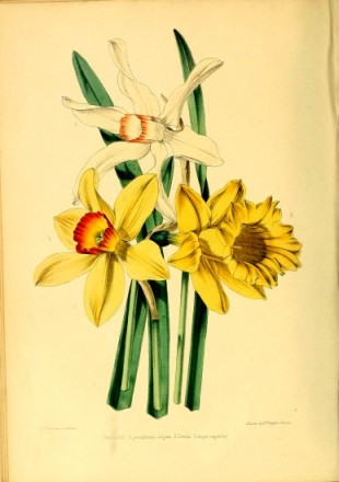 """The fine varieties of Narcissus represented in the accompanying plate are seedlings raised by E. Leeds, Esq., of St. Ann's, Manchester, a gentleman who has been for many years engaged in the cross-breeding of this tribe of plants, and who has originated many distinct and beautiful varieties."" The Gardener's Magazine of Botany, Horticulture, Floriculture, and Natural Science, 1851."