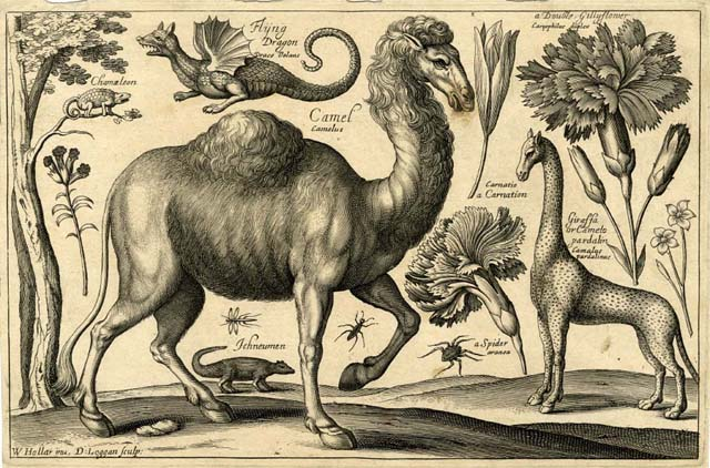 A camel, giraffe, chameleon in a tree, flying dragon, ichneumon, spider, and various insects and flowers,  1663, from Animalium, ferarum et bestiarum issued by Hollar and Stent