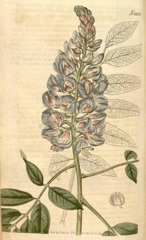 Wisteria frutescens  Curtis's Botanical Magazine, vol. 46: t. 2103 (1819)
