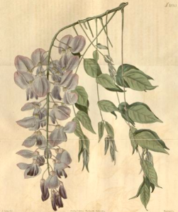 Wisteria sinensis then known as Glycine sinensis, tab 2038, from Curtis's Botanical magazine, vol,46, 1817-8