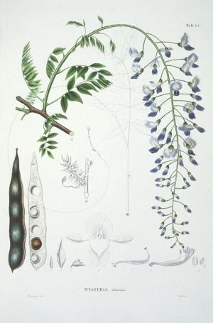 from Phillip von Siebold, Flora Japonica (1835-41)