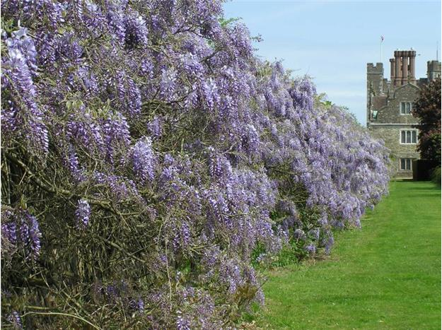 The wisteria in Lord Sackville's private garden at Knole, National Gardens Scheme