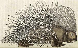 Porcupine, from Historia Animalium by Conrad Gesner, 1551