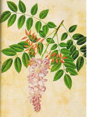 Wisteria sinensis by John Reeves, from the Reeves Colelction of Chinese drawings, vol.2 No.64, Lindley Library, RHS.