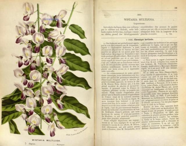 Wisteria floribunda [then described as wisteria multijuga] from Louis Houtte, Flore des Serres, vol.19 1873