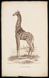Cameleopard, by Thomas Busby, 1811