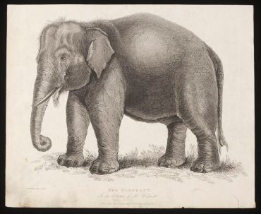 The elephant in the collection of Mr Wombwell, 1820.  V&A