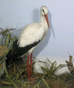 Stuufed and mounted white stork, 1873 Royal Pavilion Museum Brighton
