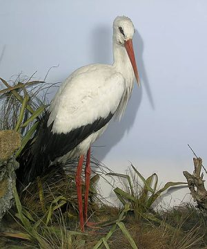 Stuufed and mounted white stork, 1873 Royal Pavilion Museum Brighton