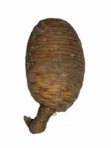 Female Cedar of Lebanon cone showing flecks of resin. Photo: Roger Griffith