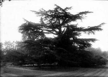 The cedar in the garden of Childrey rectory, photo by Frederick Ault, 1915 Reproduced by permission of Oxfordshire County Council Reference Number: HT12122