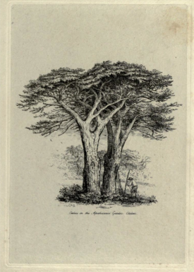 The two surviving cedras in Chelsea Physic garden, from Jacob Strutt, Sylva Britannica, 1830