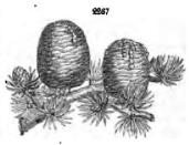 from John Claudius Loudon, Arboriucm et Fruiticum Britannicum, [2nd ed. 1854, p.