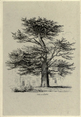 The Enfield Cedar, from Jacob Strutt, Sylva Britannica, 1830