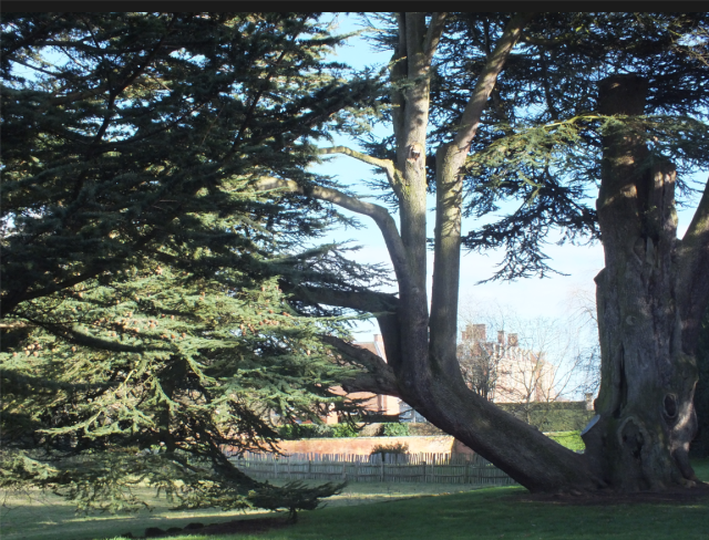 one of the surviving cedars thought to have been planted by George London at Hanbury Hall in Worcetsershire in abt 1701 photo: David Marsh 2014