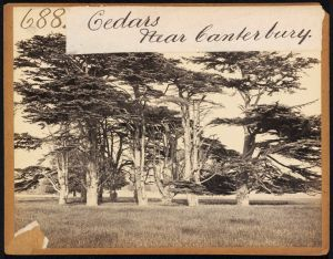 Cedars of Lebanon in parkland near Canterbury c.1850 V&A
