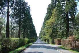 Wellingtonia Avenue, Finchampstead 2004, from http://www.redwoodworld.co.uk/picturepages/finchampstead.htm