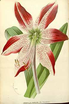 Hippeastrum pardinum (Hook.f.) Dombrain var. Rev. Dombrain [as Amaryllis pardina Hook.f. var. Rev. Dombrain] Houtte, L. van, Flore des serres et des jardin de l'Europe, vol. 17: t. 0 (1845)