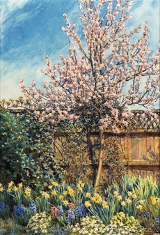Almond Blossom, The Laurels, Oxhey