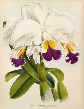 Cattleya mendelii Dombrain from H.Williams, The Orchid Album 1893