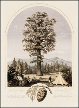 """Wellingtonia Gigantea,"" c. 1855. Lithograph, Bancroft Library"
