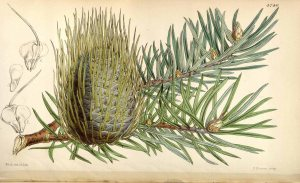 The Bristlecone Pine, Abies bracteata (D. Don) Poit. Curtis's Botanical Magazine, 1853,  t. 4740