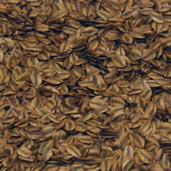 Sequoiadendron giganteum seeds from http://www.forestart.co.uk