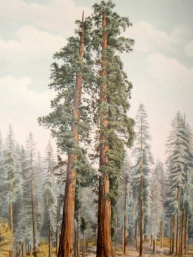 "fromr ""The Pinetum Britannicum"" by Edward James Ravenscroft 1863"