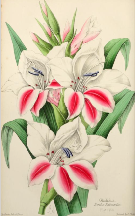 """Gladiolus """"Berthe Rabourdin' from The Florist, Fruitist and Garden Miscellany, 1859"""