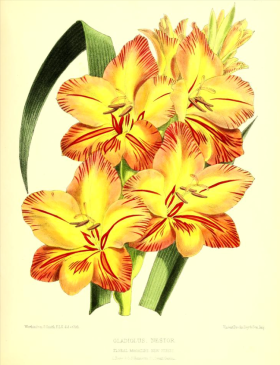 Gladiolus Nestor from The Floral Magazine, 1871