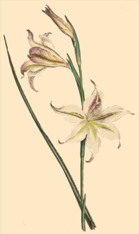 Gladiolus Tristis from Curtis Botanical Magazine, 1794