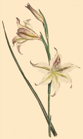 Gladiolus Tristis from Curtis Botanical Magazine, 1794