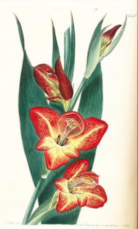 Gladiolus psitticanus from Edwards's Botanical Register Vol. XVII (17: plate 1442. 1831)
