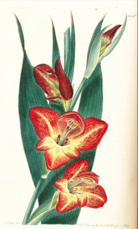 Gladiolus psitticanus from Edwards's Botanical Register Vol. XVII (17: plate 1442. 1831)