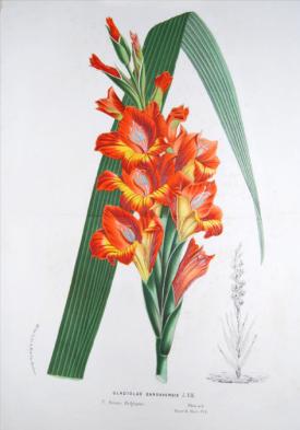 Gladiolus Gandavensis from Louis Van Houtte Flore des Serres, xxxx