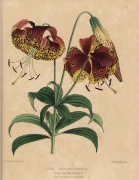 Lilium washingtonianum Dombrain , Floral Magazine 1872