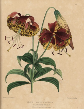 Lilium washingtonianum Dombrain , Floral Magazine 1872