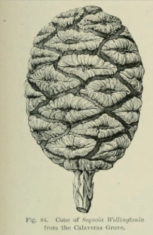 from  Veitch's manual of the coniferae [second ed, 1900]
