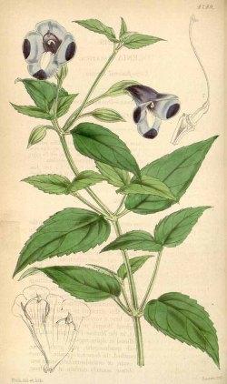 Torenia asiatica from Curtis's Botanical magazine, 1846