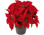 1774596-poinsettia-w-co-f