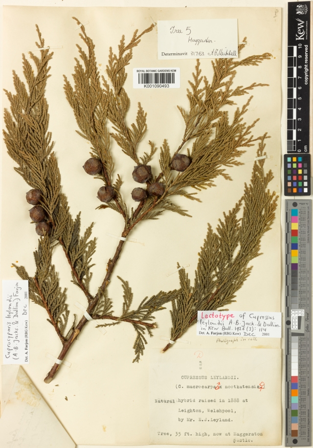 "Kew herbarium sheet for the lectotype Cupressocyparis leylandii, ""Haggerston' http://apps.kew.org/herbcat/getImage.do?imageBarcode=K001090493"
