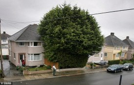 The man with a forest in his garden: Fed-up residents demand action over neighbour's 35ft leylandii cypress trees Daily Mail, 8th Sept 2010
