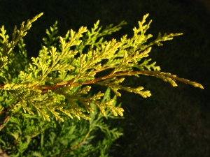 Leyland Cypress 'Castlewellan Gold'  from Wikipedia