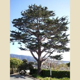 The Monterery Pine, Cupressus macrocarpa from Wikipedia