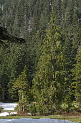 Mature Nootka cypress,aka  the Alaska pine, Chamaecyparis nootkatensis, Wikipedia