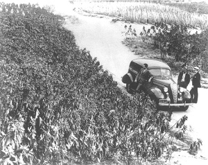 Field production of poinsettia stock plants in Southern California in the mid-1930s. © 2014 The American Phytopathological Society