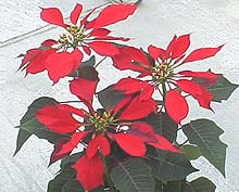 Paul Mikkelsen poinsettia © 2014 The American Phytopathological Society