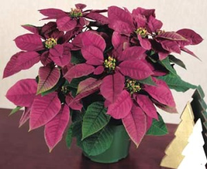 Plum Pudding, the first poinsettia with purple bracts © 2014 The American Phytopathological Society