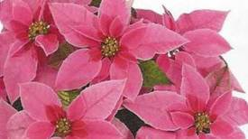 Princettia Hot Pink http://www.stanleysgreenhouses.com