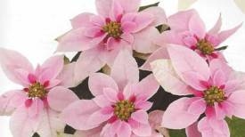 Princettia Pink  http://www.stanleysgreenhouses.com